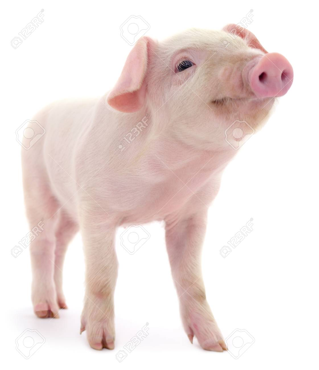Pig who is represented on a white background - 88183567
