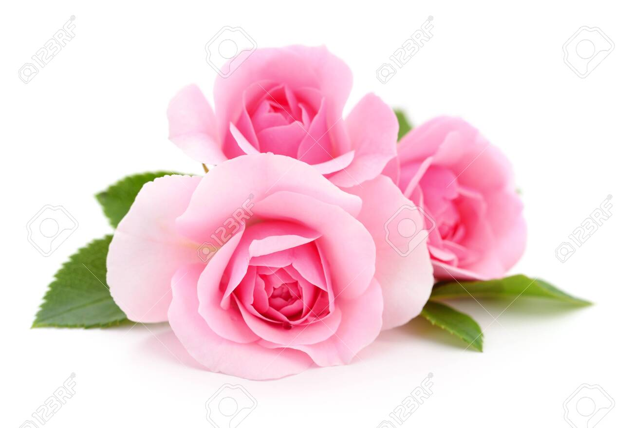 Three beautiful pink roses on a white background. - 123269638