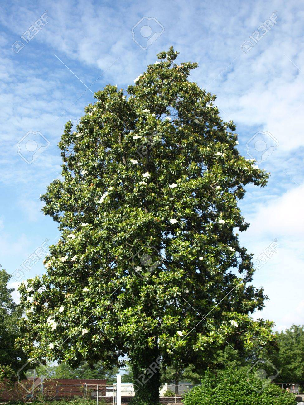 A old southern magnolia tree in the spring time of the year Stock Photo - 4965531