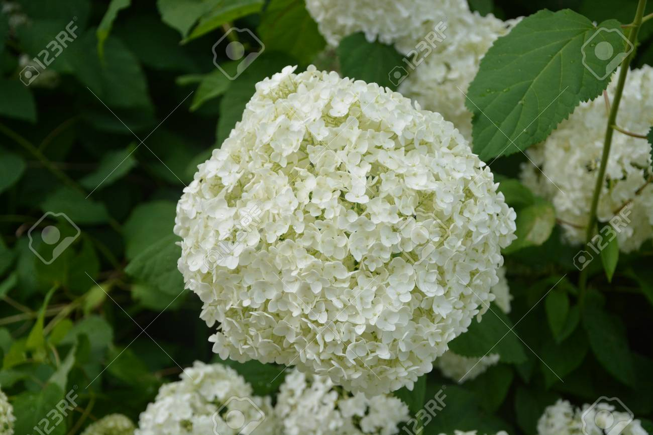 Large White Snowball Flower In Full Bloom Stock Photo Picture And