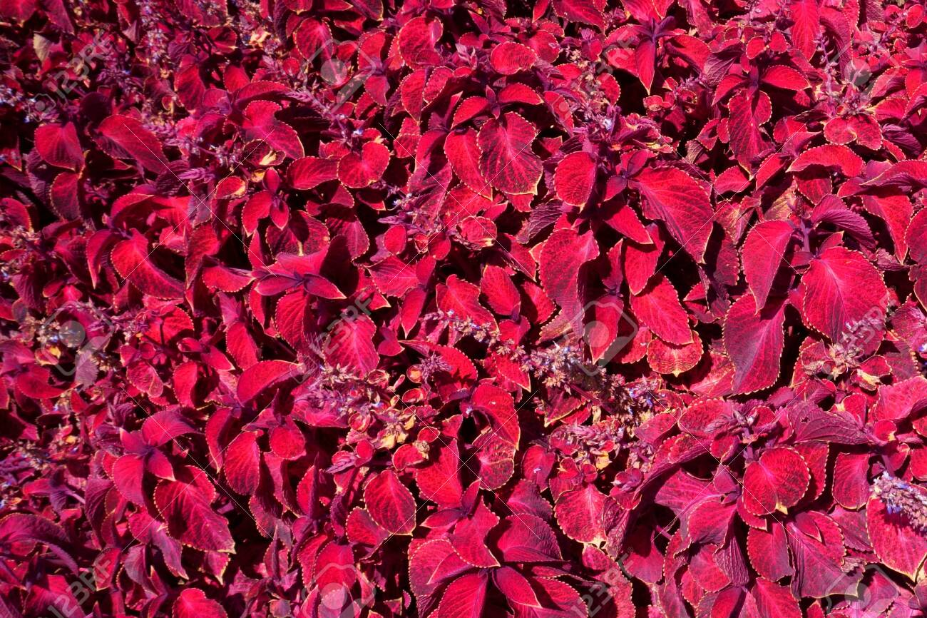 Purple Coleus Garden Design Red Leaves Stock Photo Picture And