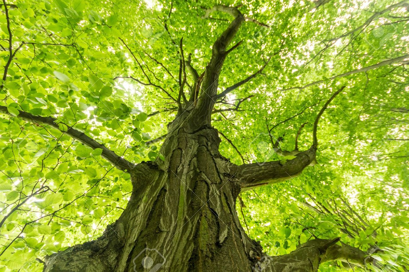 Old Big Tree On Color Green Background With Green Leafs Stock Photo ...