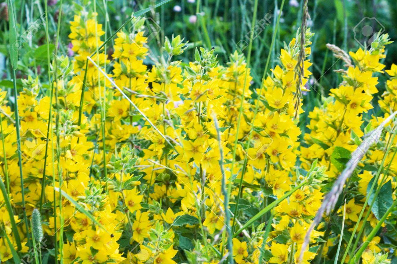 Lots Of Bright Wild Yellow Summer Flowers Stock Photo Picture And