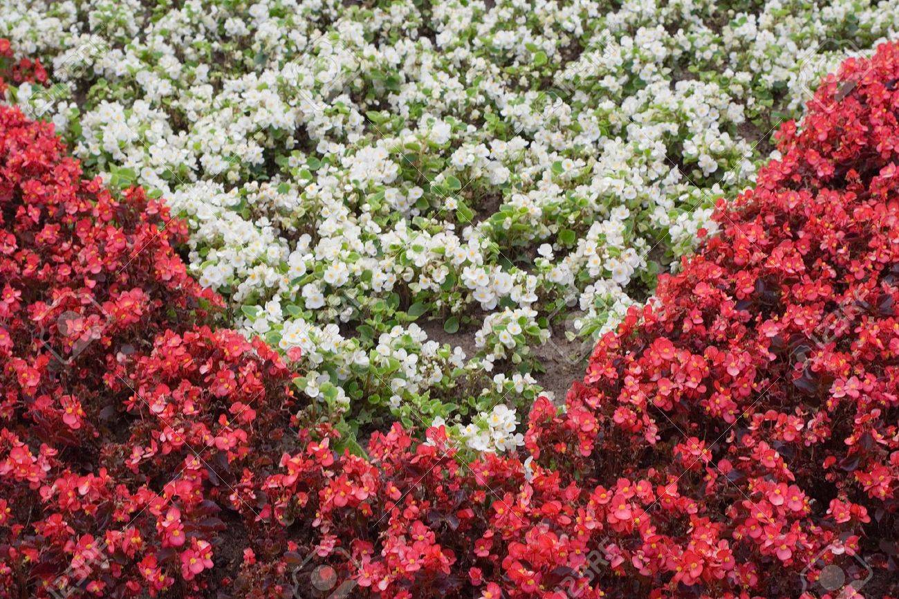 Small Red And White Flowers On A Flowerbed Arranged In A Triangular