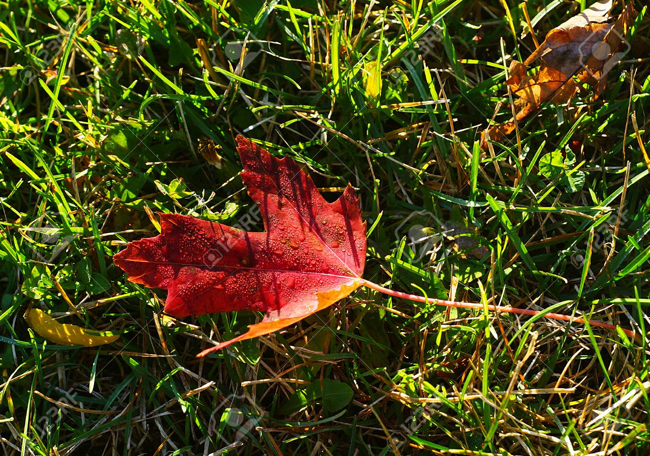 automne au canada - une feuille rouge d'un arbre d'érable canadien
