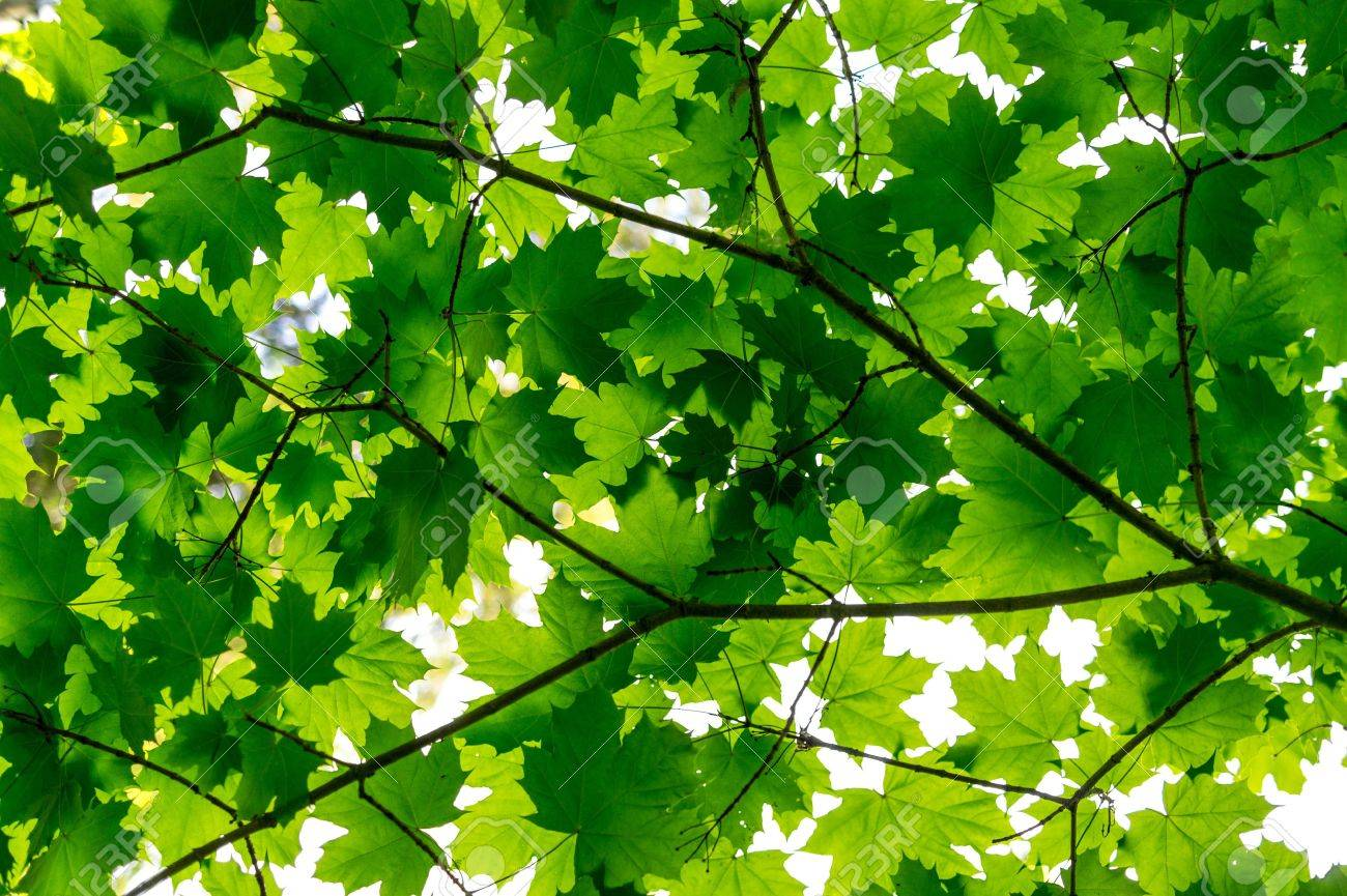 Beautiful and warm early summer feeling with green maple leafs bathing on sunshine Stock Photo - 15482910