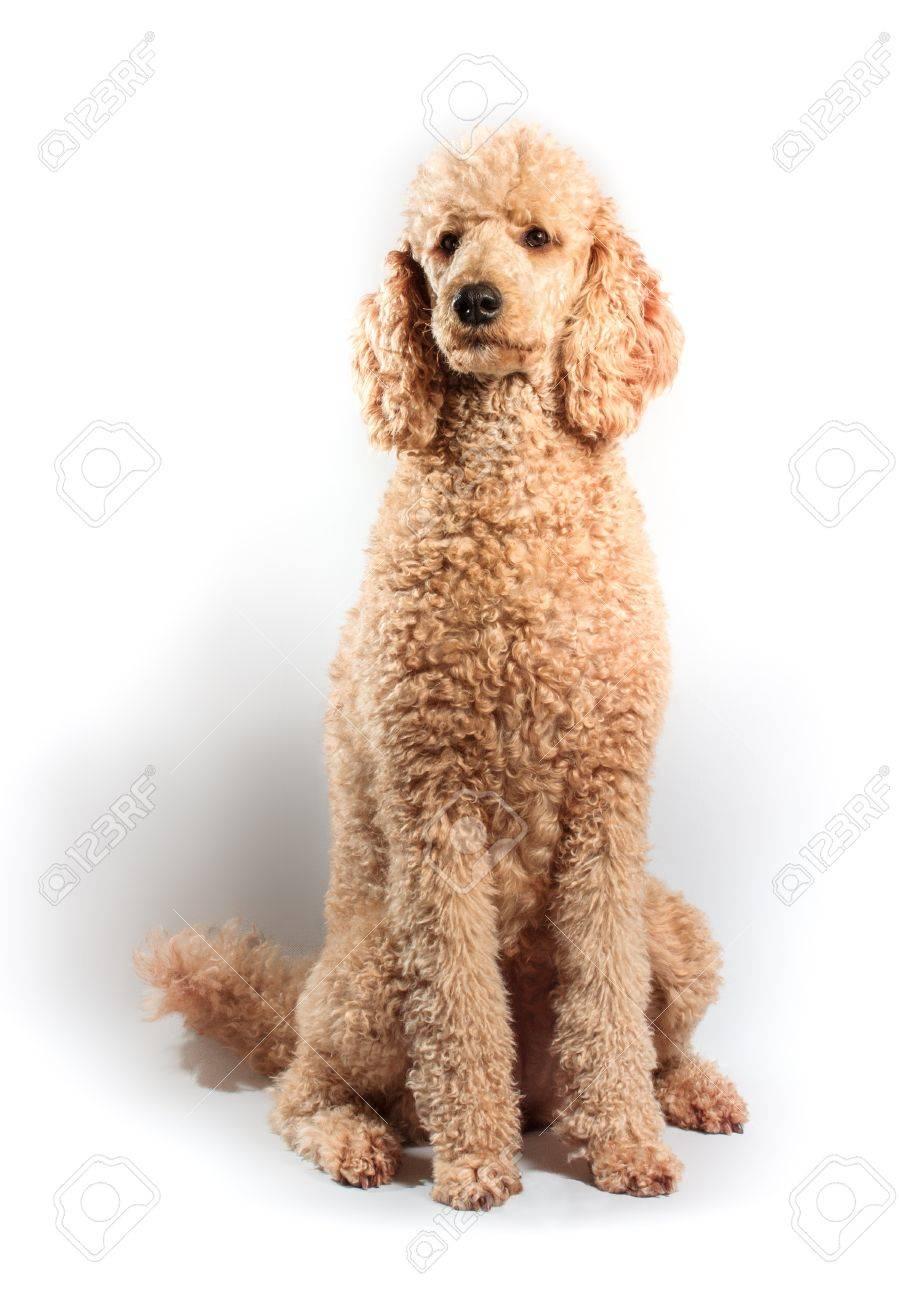 Beige Standard Poode posing on studio shot Stock Photo - 22005160