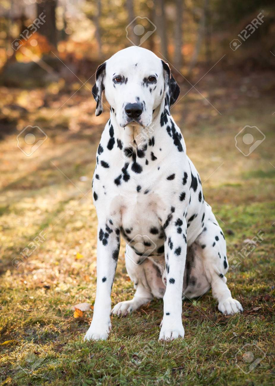Dalmatian dog sitting on the grass on a sunny autumn day Stock Photo - 24683030