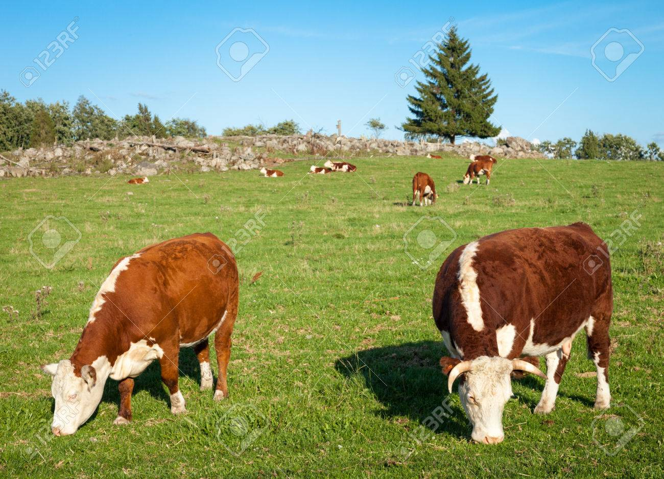 Two Hereford cows eating hay and grazing on the meadow. Stock Photo - 24816257