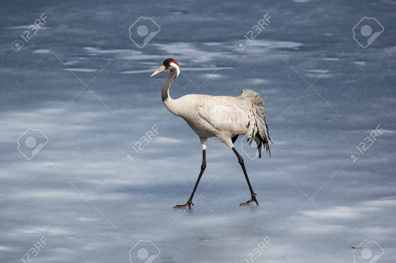 Common crane walking on the ice of a frozen water in early spring. Stock Photo - 76821263