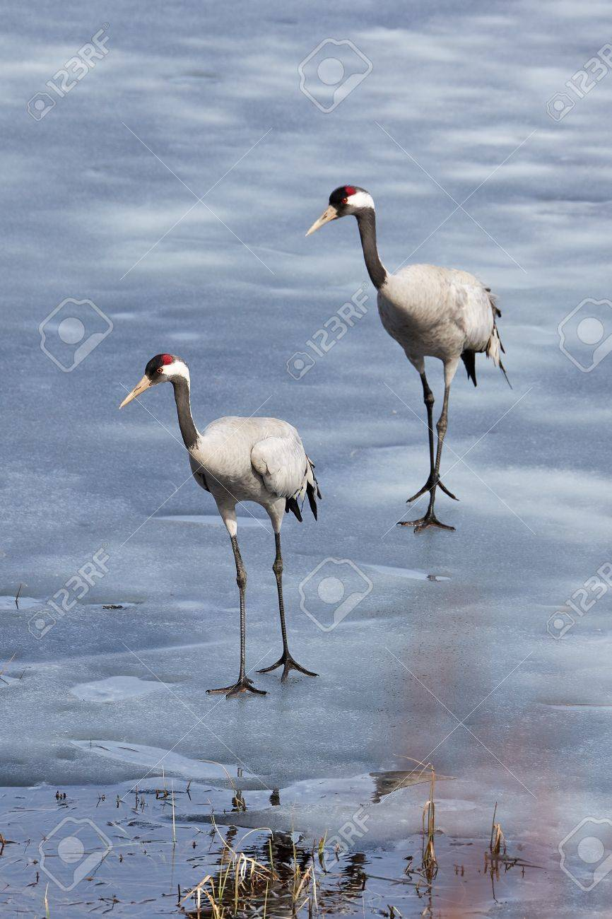 Two common cranes walking on the ice of a frozen water in early spring. Stock Photo - 76839881