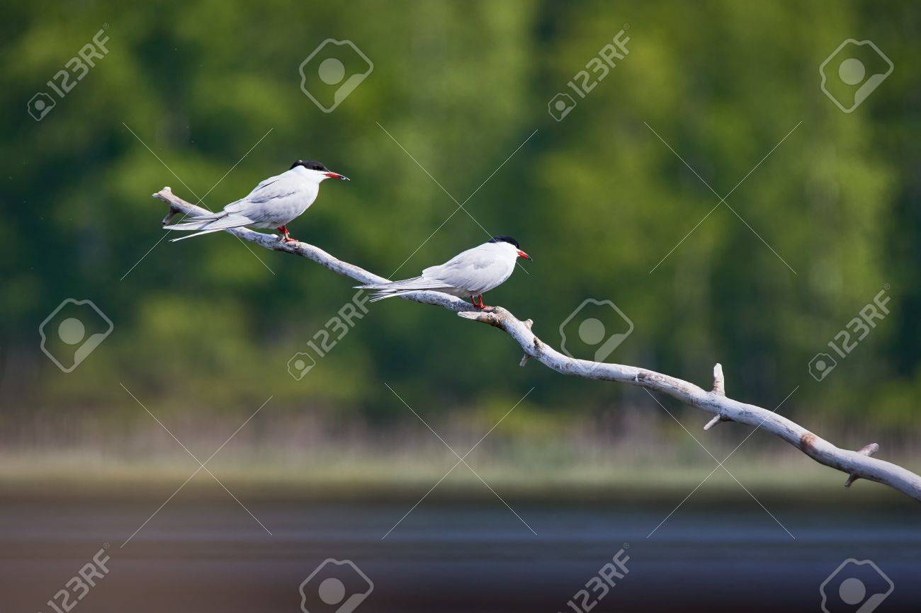 Two common terns (Sterna hirundo) sitting on a tree branch. Beautiful white birds green forest on the background. Stock Photo - 76839885