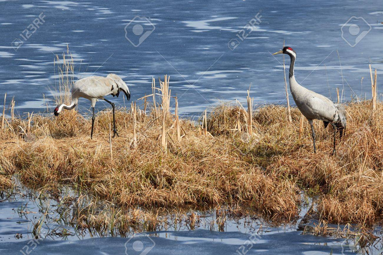 Two common cranes walking on the grass in early spring. Stock Photo - 76839884