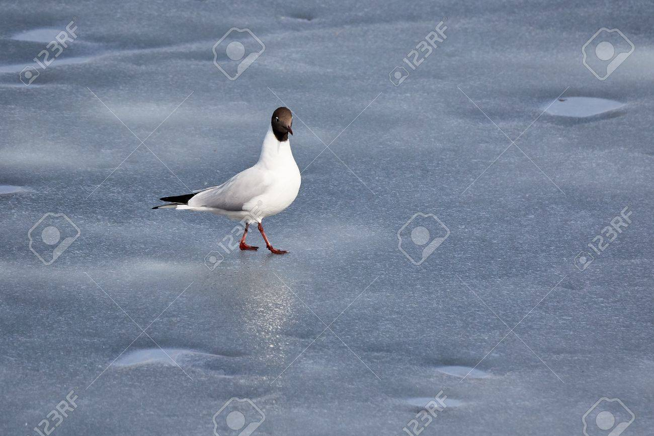 Black-headed gull standing on the ice of frozen lake in early spring Stock Photo - 77368871