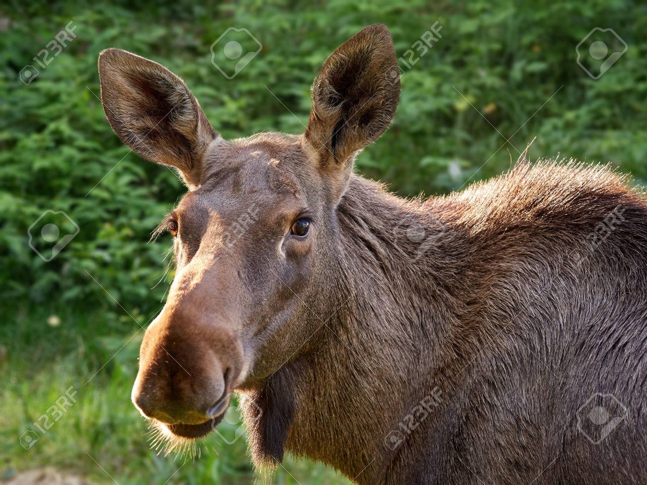 Big brown moose staring curiously in close up animal portrait. Stock Photo - 77310176