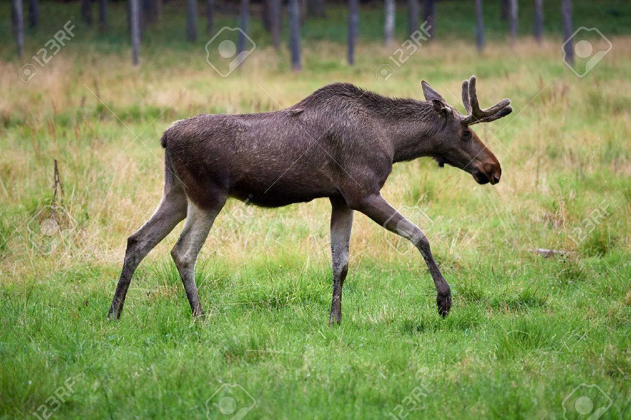 Big brown moose walking on green grass at summertime meadow. Stock Photo - 77369050
