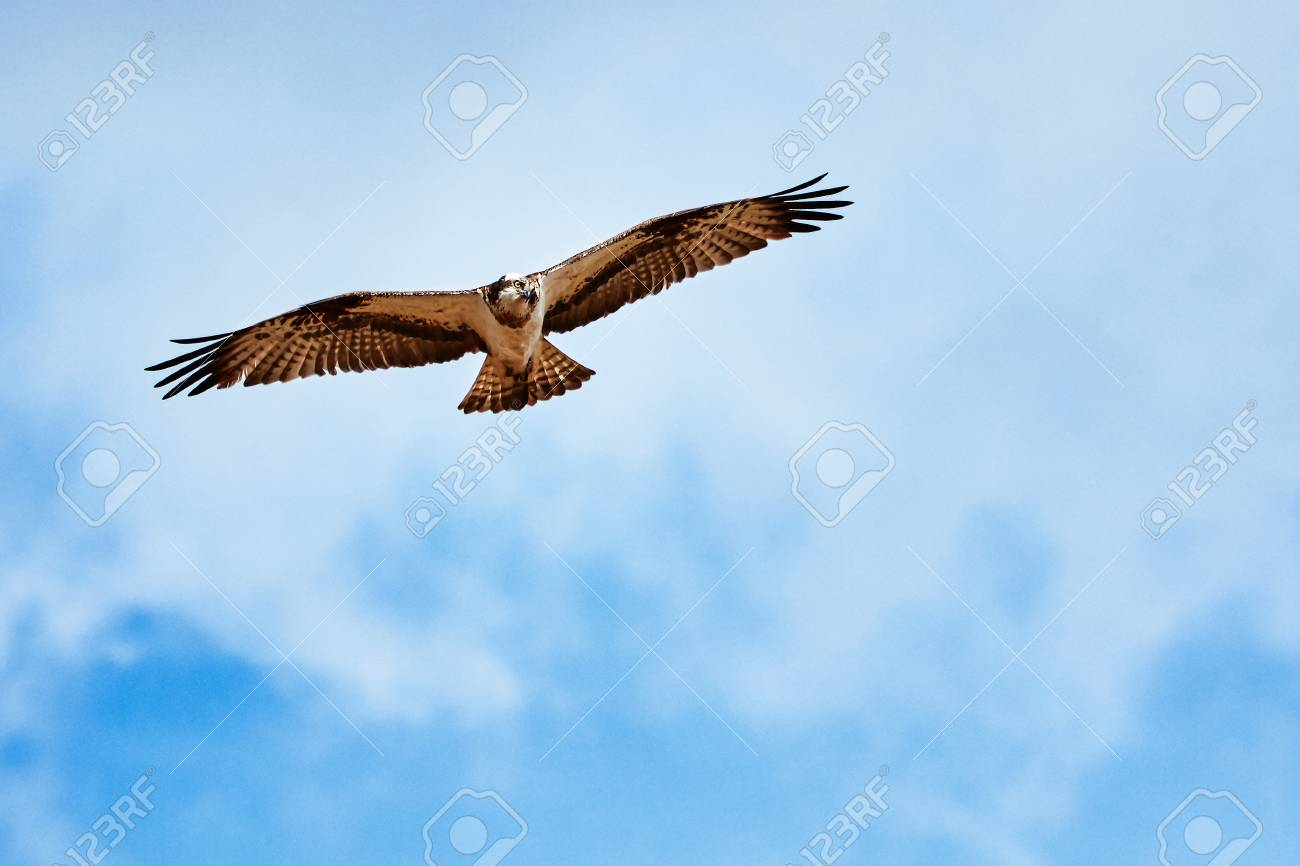 Wild osprey circling on the sky ready to strike. Majestic bird of prey hunting on a sunny summer day. Stock Photo - 77949771