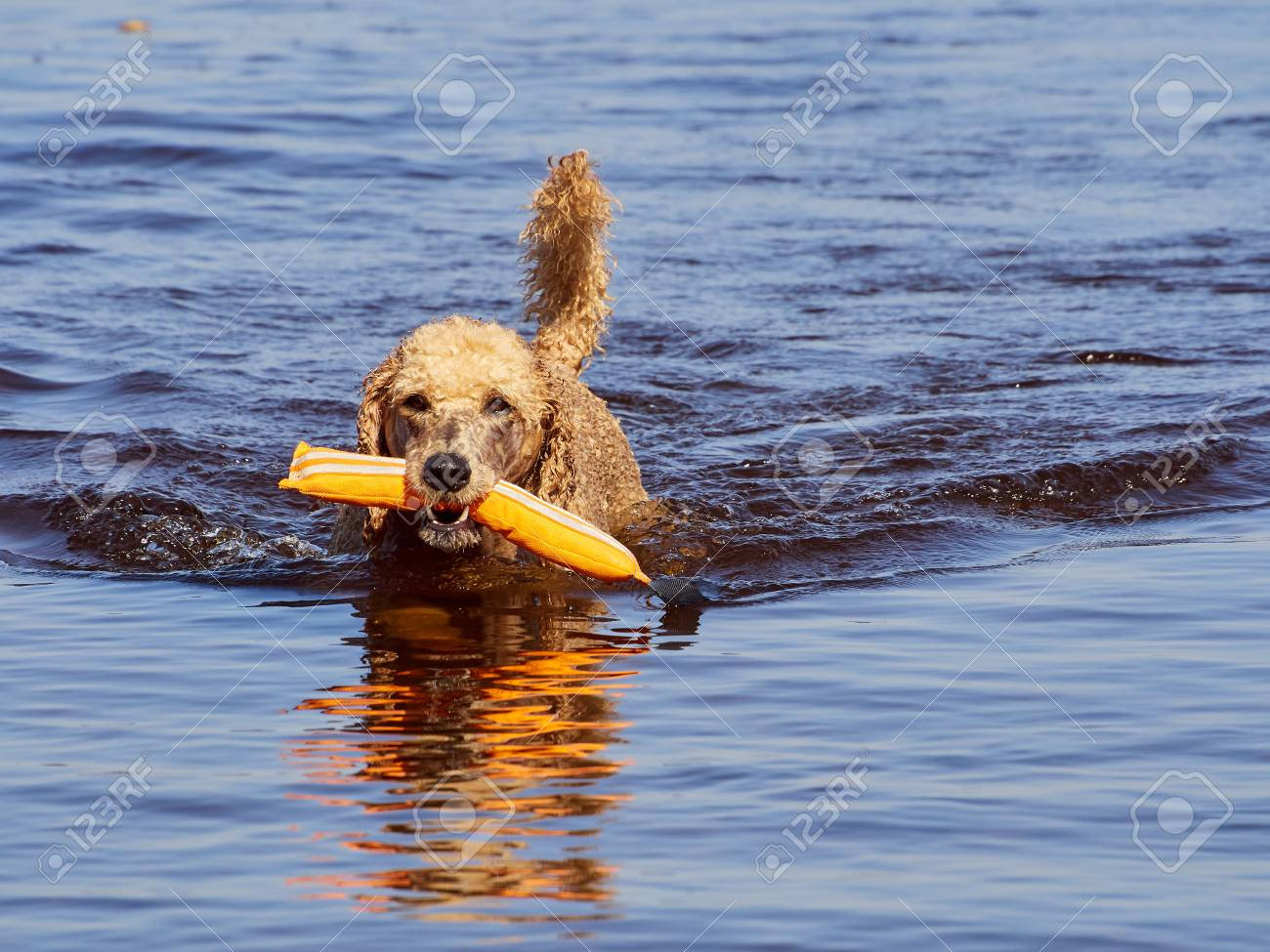 Standard poodle swimming on dog rescue service water training