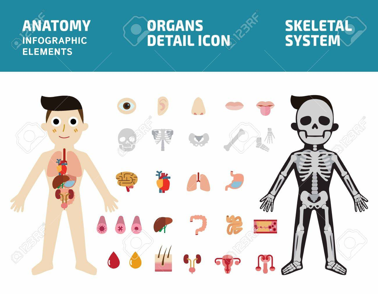 The system of internal organs. Human anatomy body infographic. skeletal system.Internal organs detailed icons set.Flat vector illustration graphic for banners brochure poster.Medical health concept. - 57362987