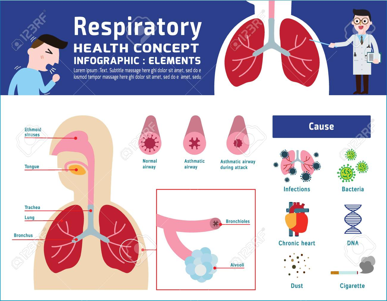 Respiratory System Of Human. Illustration About Anatomy And ...