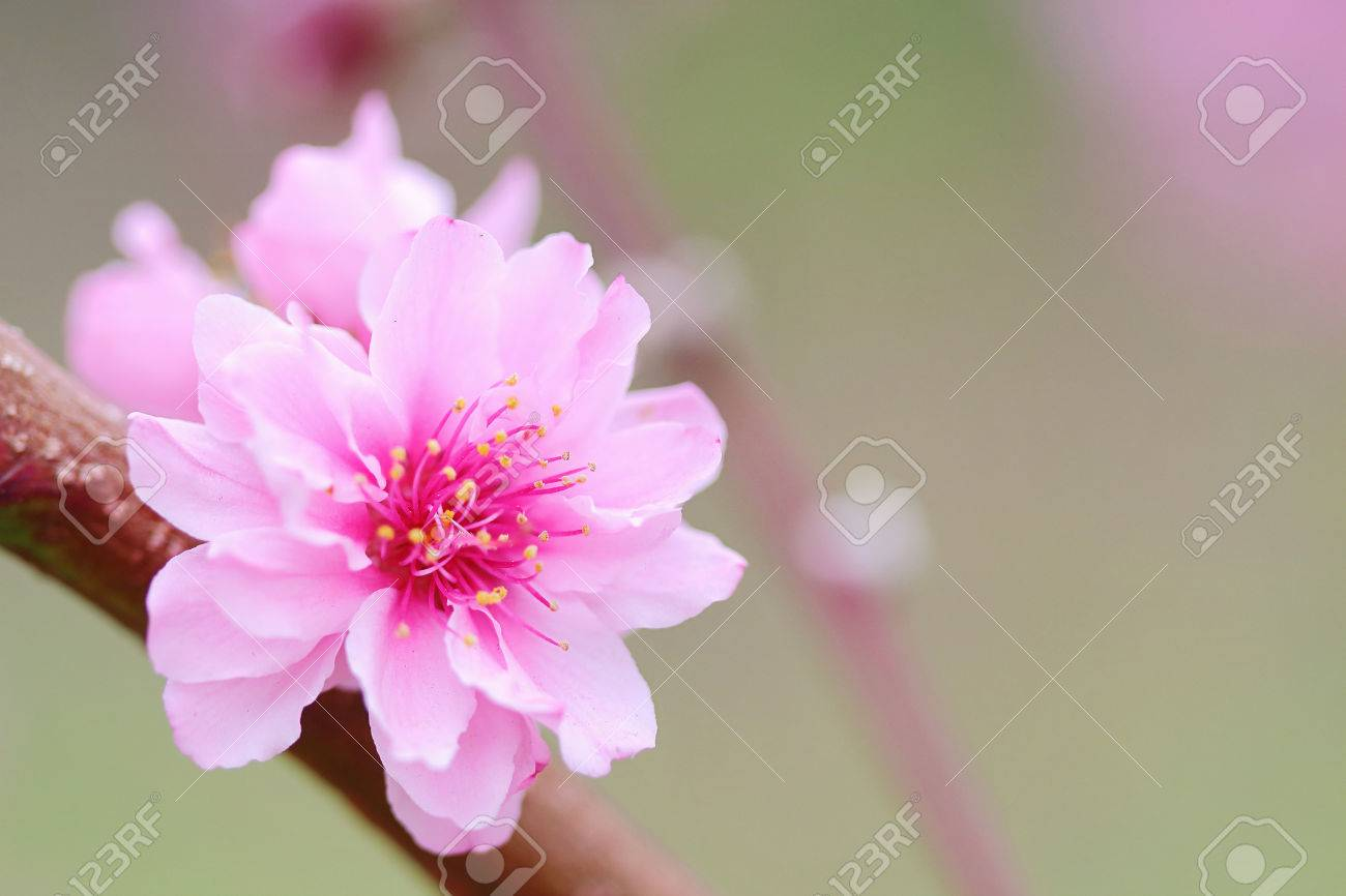 Pink Chinese Plum Flowers Or Japanese Apricot Flowers Plum Blossom