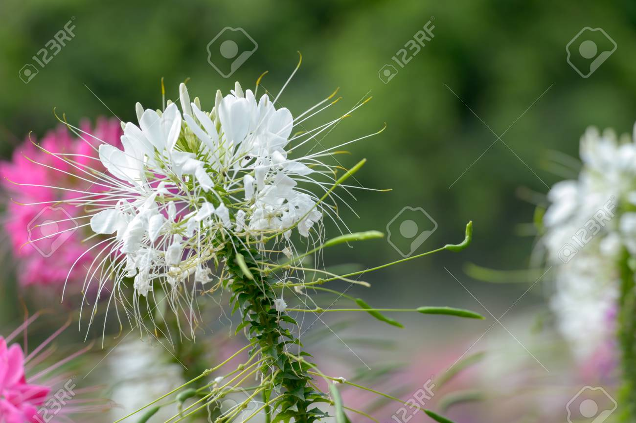 Pink and white spider flowercleome hassleriana in the garden stock pink and white spider flowercleome hassleriana in the garden stock photo 64396977 mightylinksfo