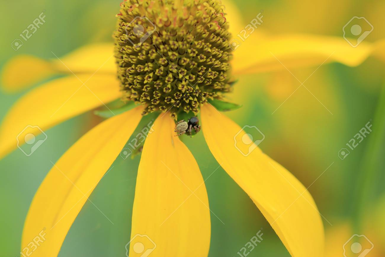 Small Spider Standing On The Yellow Flower Stock Photo Picture And