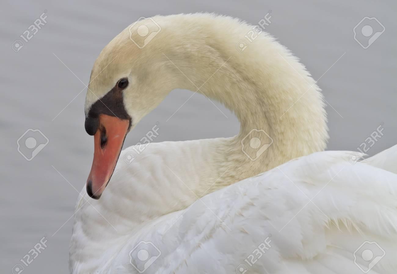 Beautiful White Swan Swimming Stock Photo - 18246294
