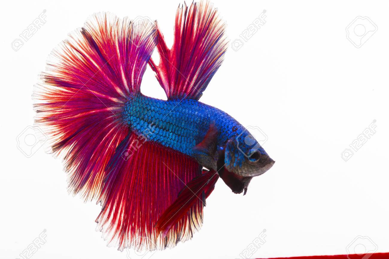 Style Of Colorful Beauty Betta Fish On White Background Stock Photo ...