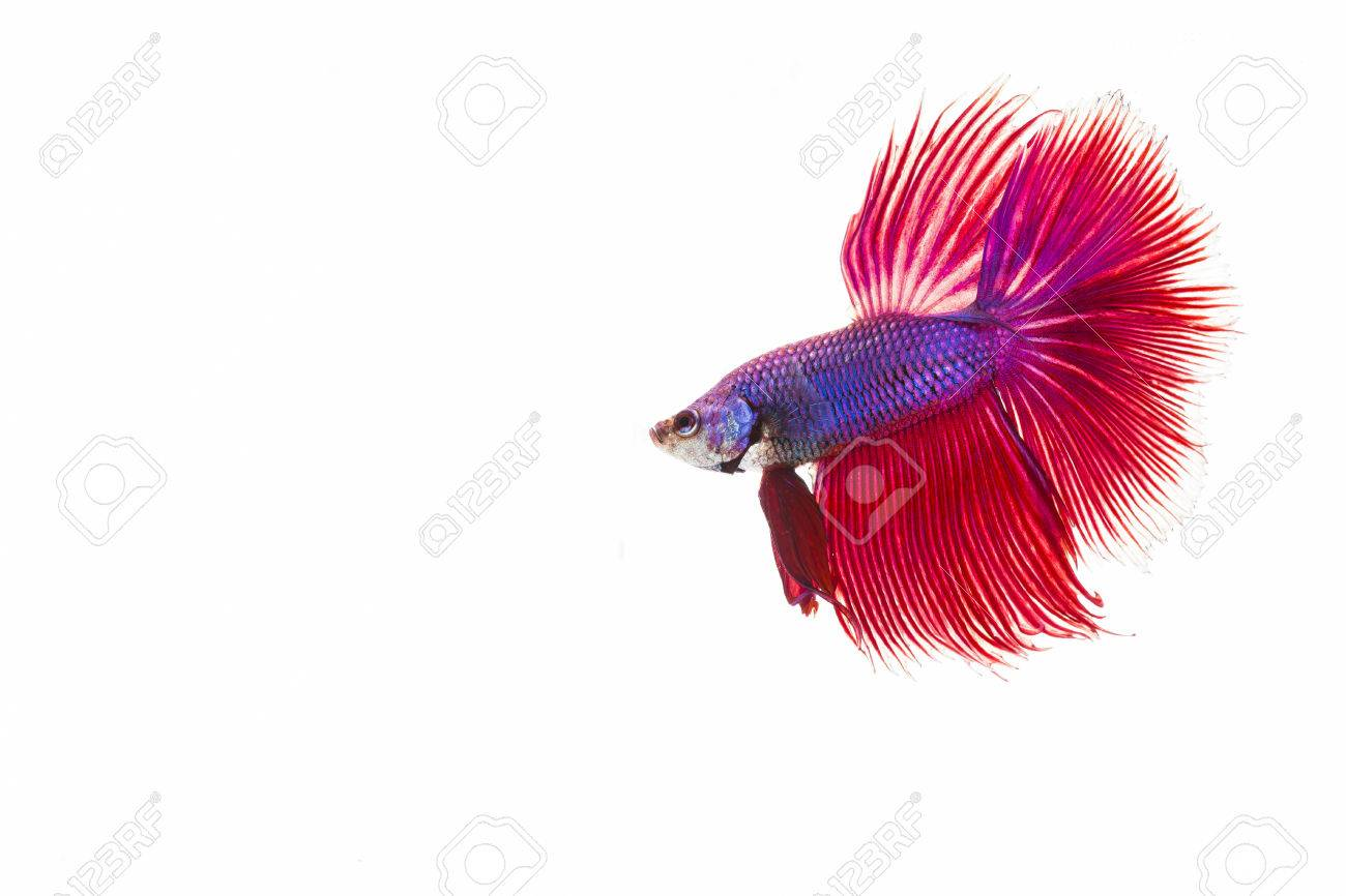 Style of colorful beauty betta fish on white background