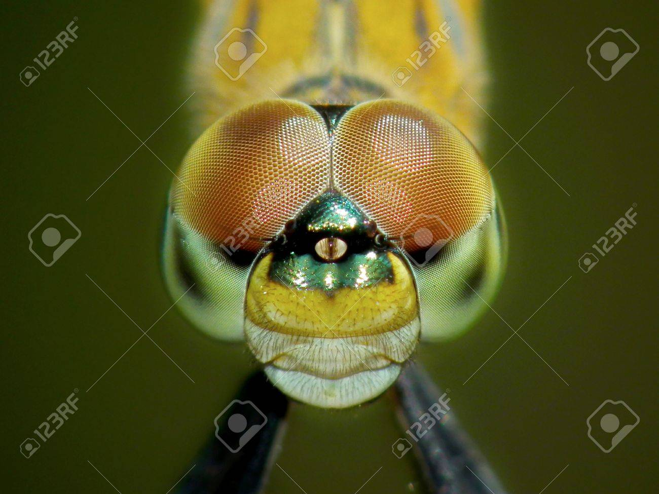 Dragonfly closeup Stock Photo - 12719109