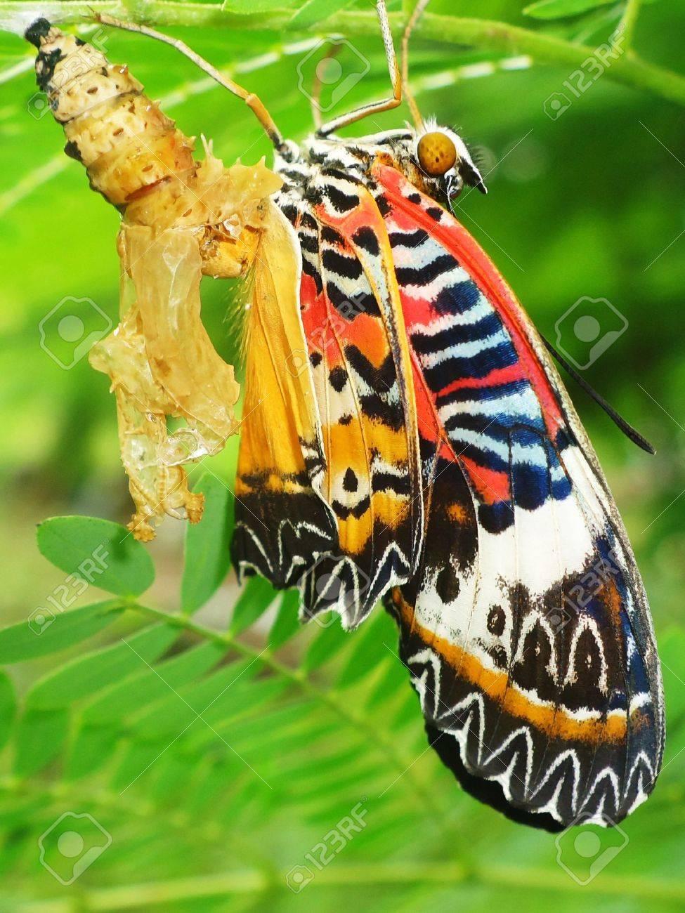 Butterfly Chrysalis Stock Photo - 12719108
