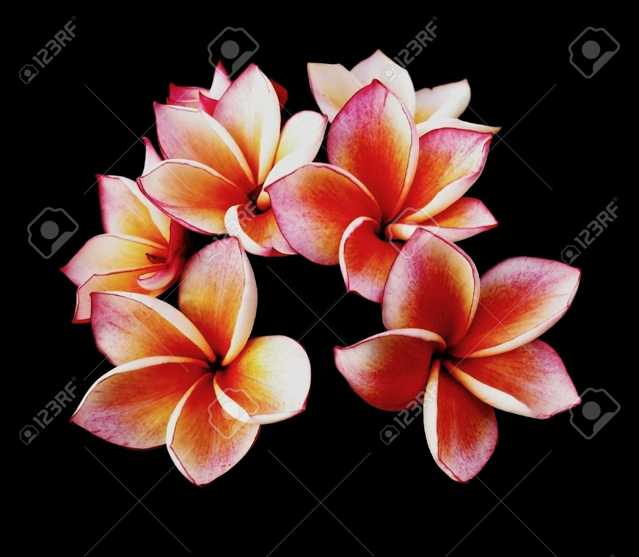 Glorious frangipani or plumeria flowers, with black background Stock Photo - 16133801