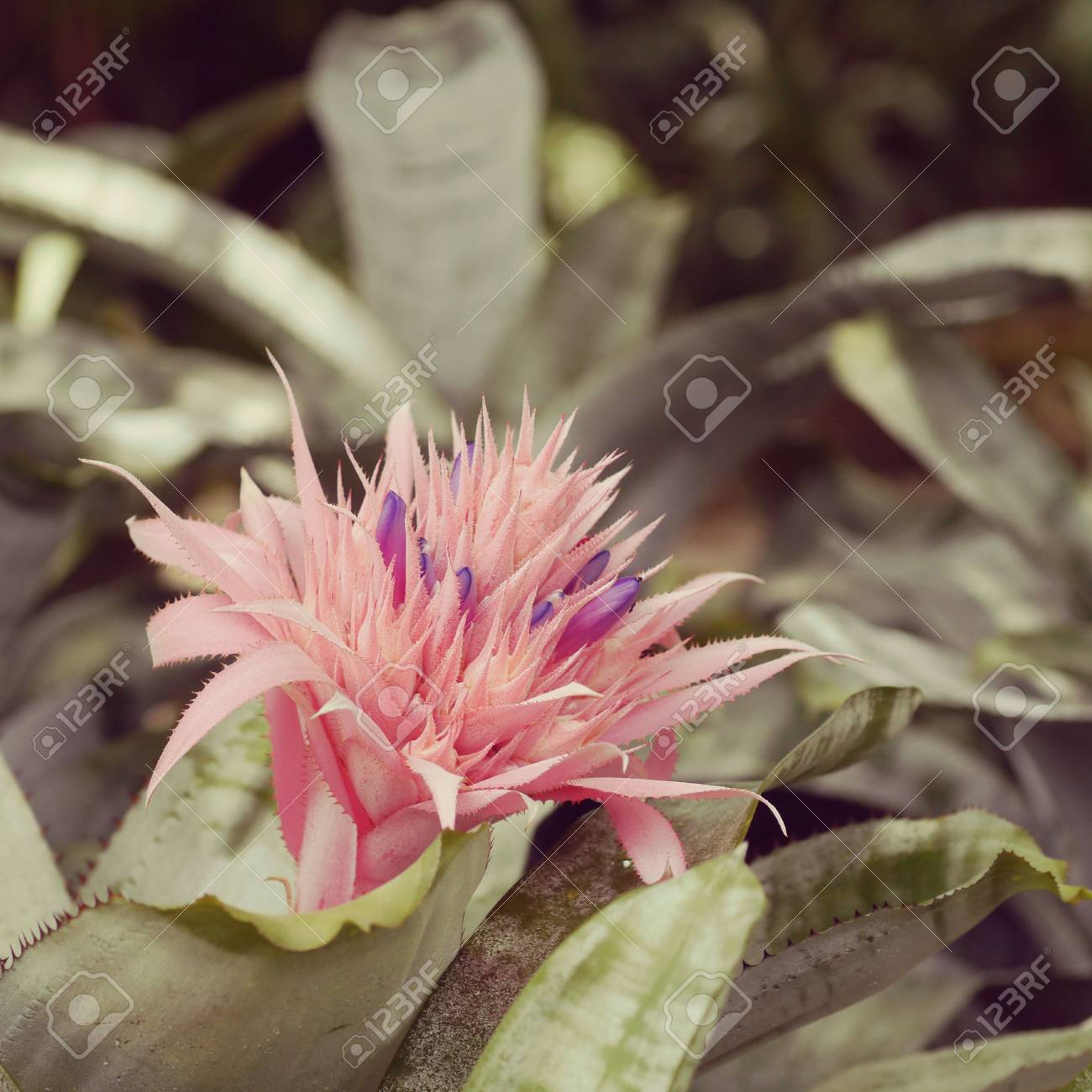 Pink Bromeliad Flower Old Retro Vintage Style Stock Photo Picture