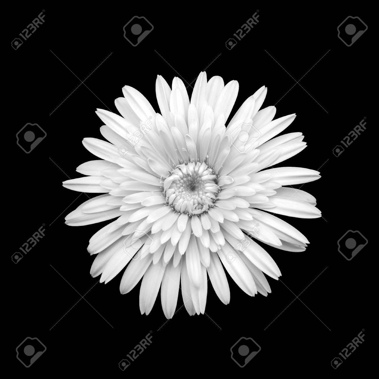 Black and white chrysanthemum flower stock photo picture and black and white chrysanthemum flower stock photo 35570278 mightylinksfo