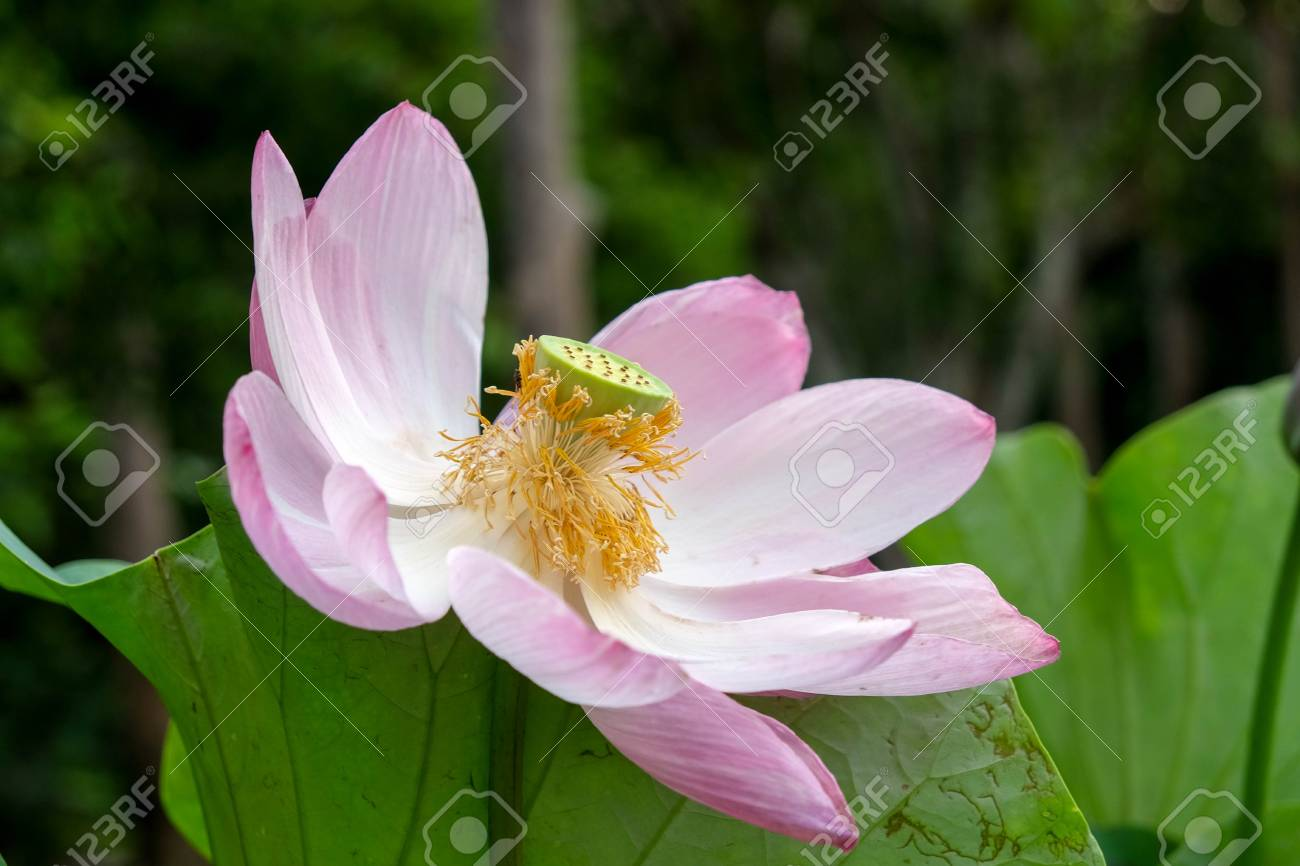Lotus flower in the garden stock photo picture and royalty free lotus flower in the garden stock photo 78077509 izmirmasajfo
