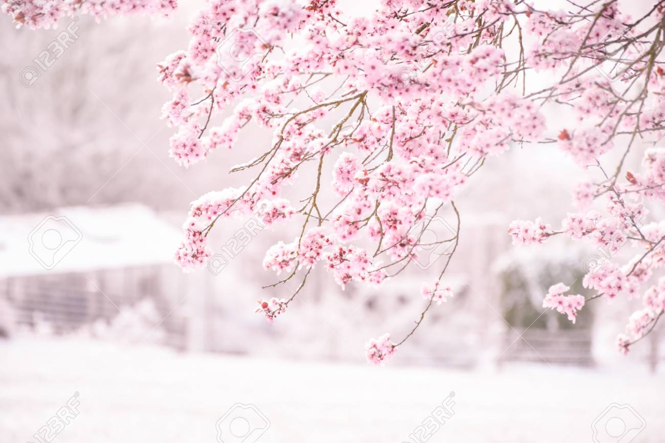 Background soft blur beautiful pink cherry blossom (Sakura) flower cover with snow at full blooming. - 127432966
