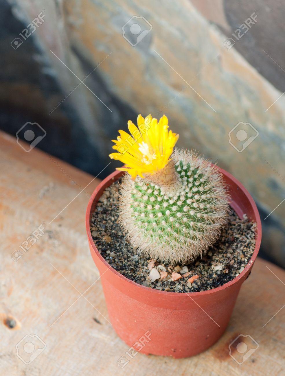 Cactus with yellow flower mini size stock photo picture and cactus with yellow flower mini size stock photo 13170833 mightylinksfo Images