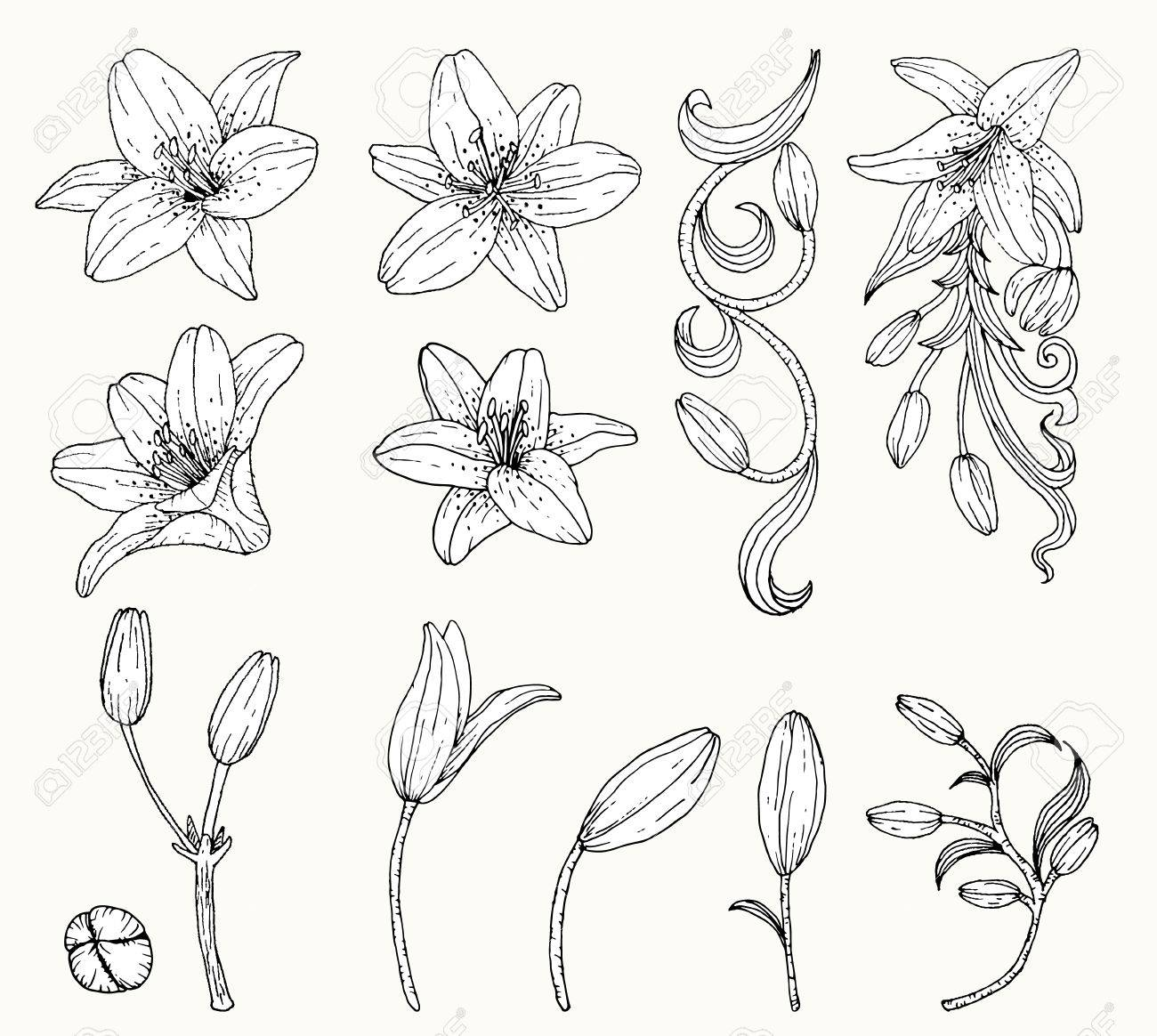 Lily Flower Vector By Hand Drawingly Flower Set Royalty Free