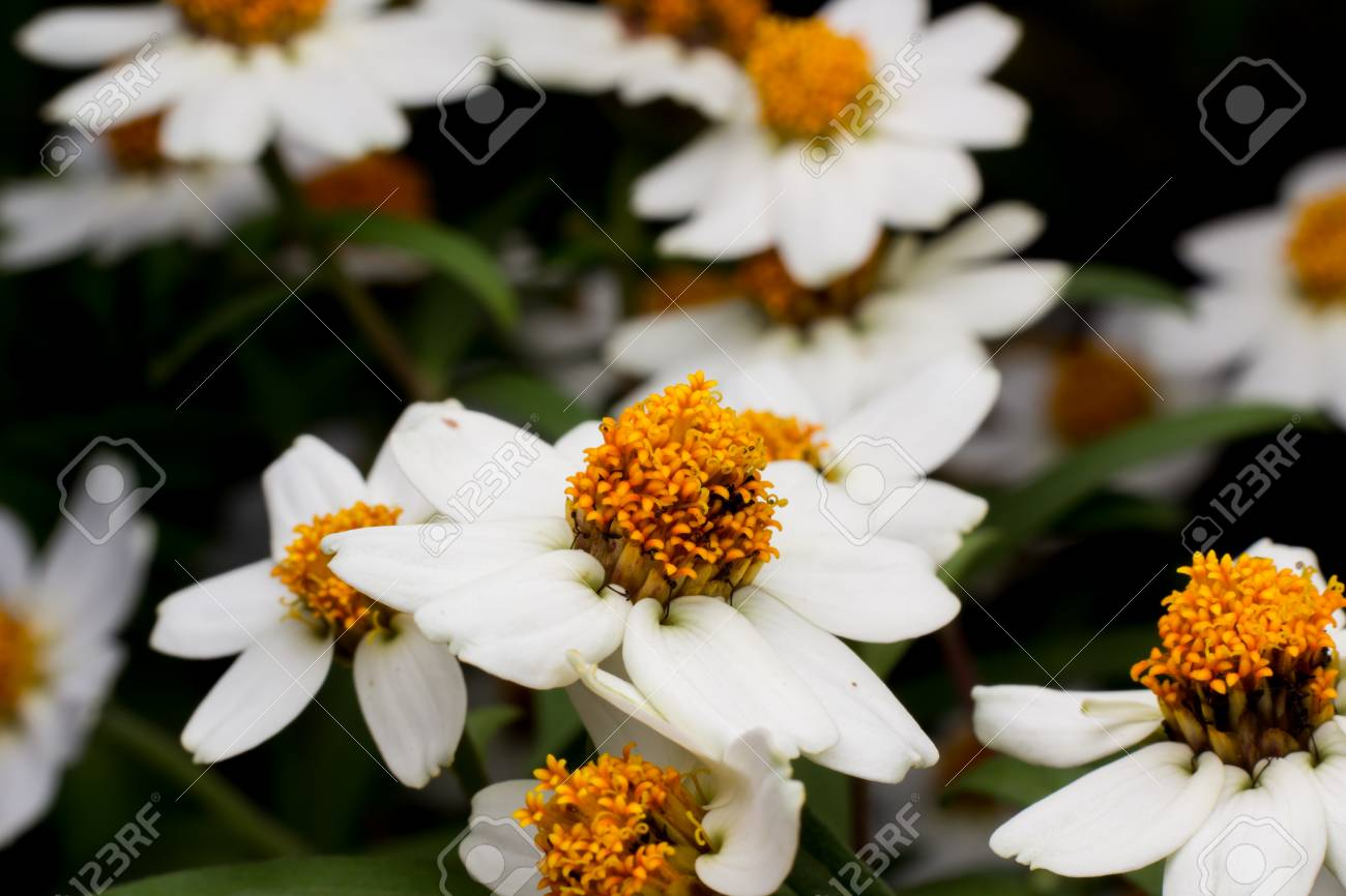 Beautiful background of white flowers with yellow stamens small beautiful background of white flowers with yellow stamens small stock photo 45049050 mightylinksfo