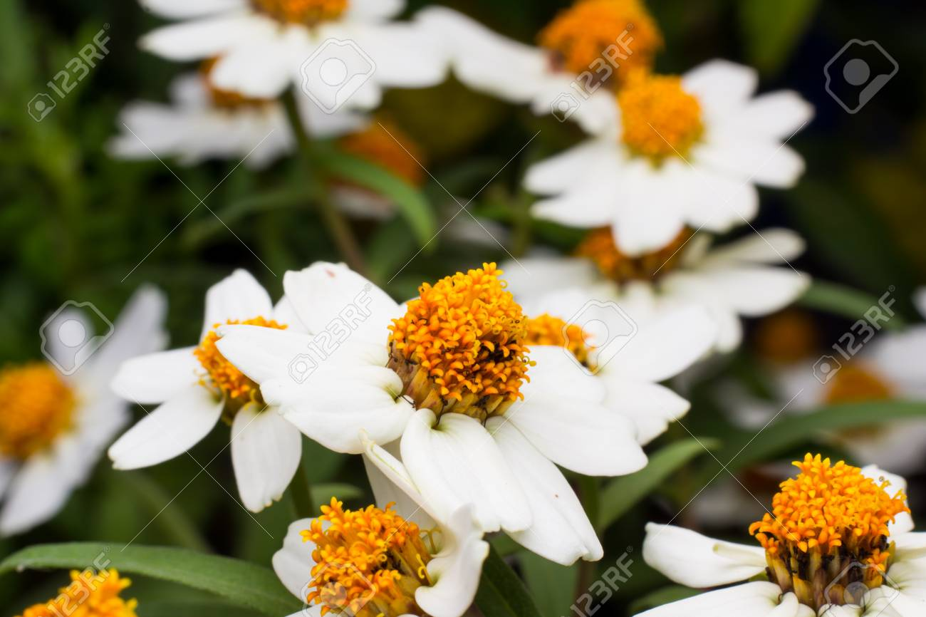 Beautiful Background Of White Flowers With Yellow Stamens Small
