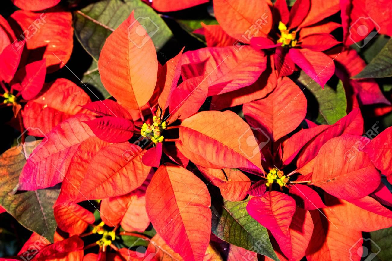 Red Christmas Flower.Red Christmas Flower Poinsettia