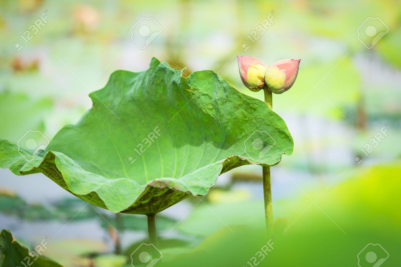 Twin lotus flower bud collecting in lotus farm stock photo picture stock photo twin lotus flower bud collecting in lotus farm izmirmasajfo