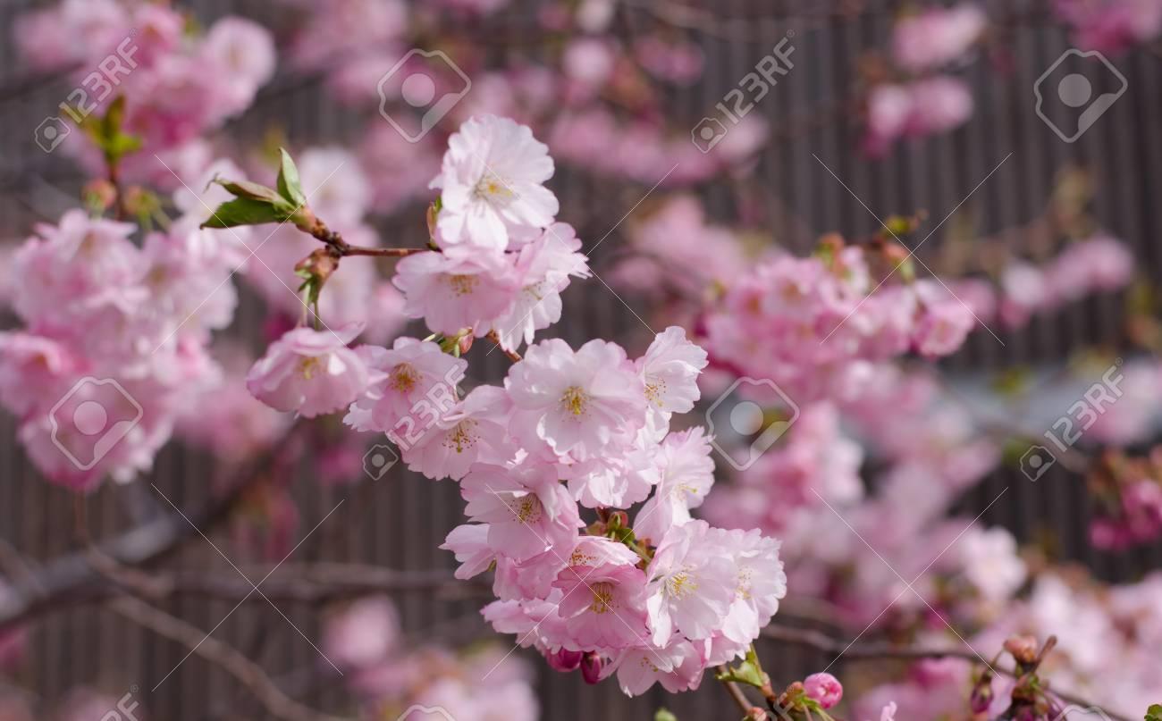Japanese Cherry Blossom Tree Blooming Lizenzfreie Fotos Bilder Und