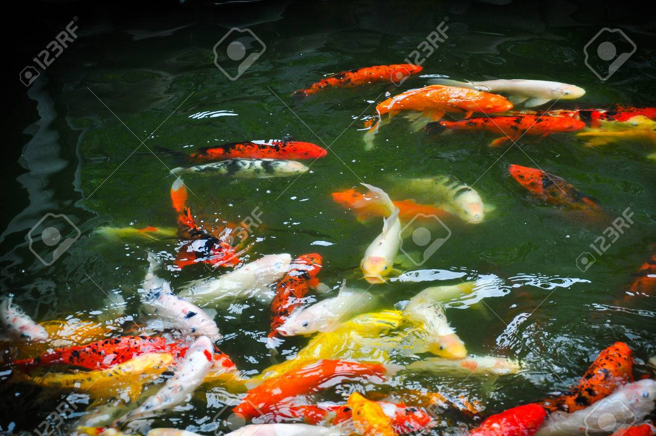 A Group Of Fancy Carp Or Colorful Koi Carps Swim In Clear Waters ...