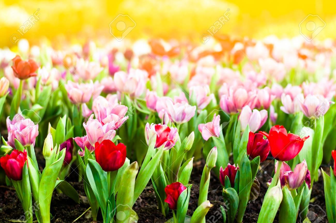 Jardin Fleuri De Tulipes Colorees Au Printemps Avec La Lumiere Du