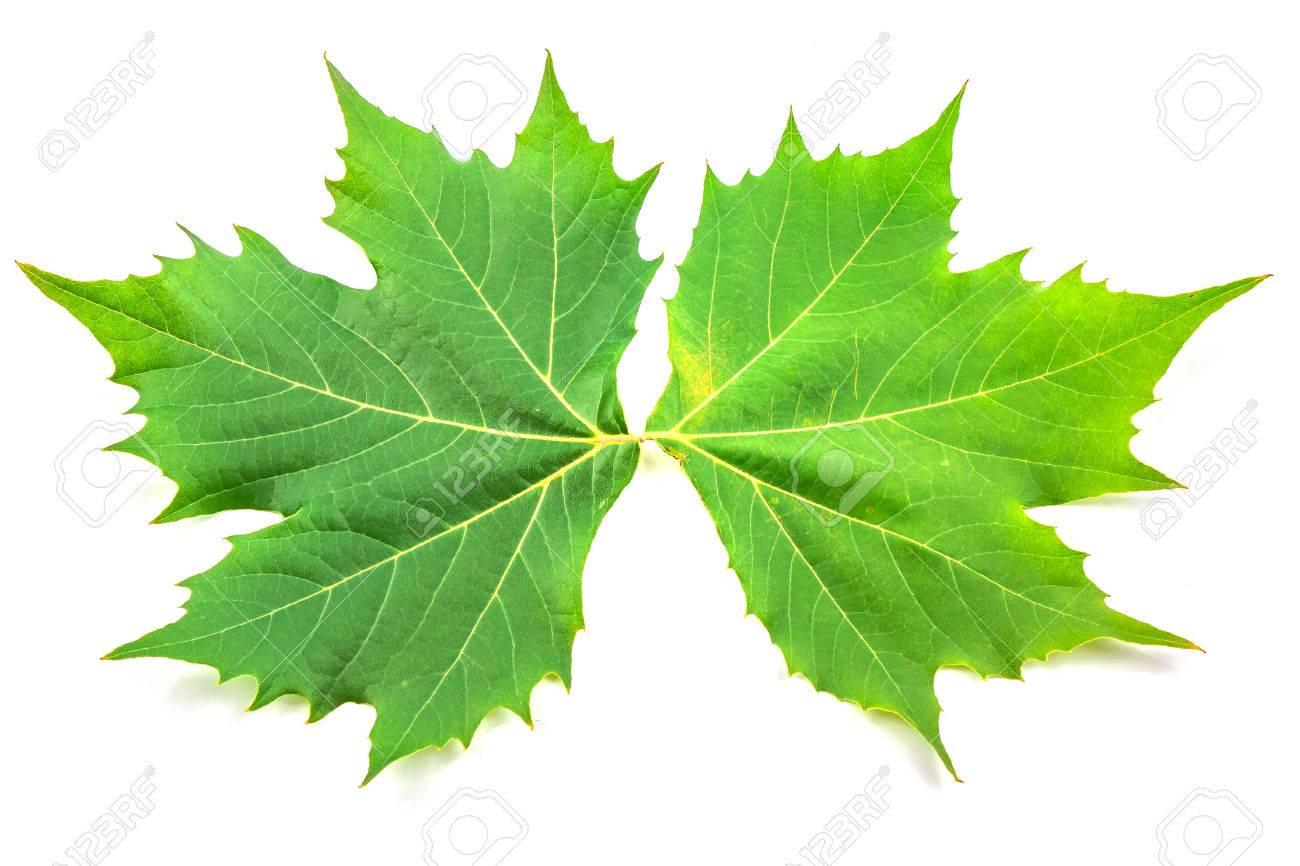 arbre avion, des feuilles de platanes et de fleurs isolé sur fond