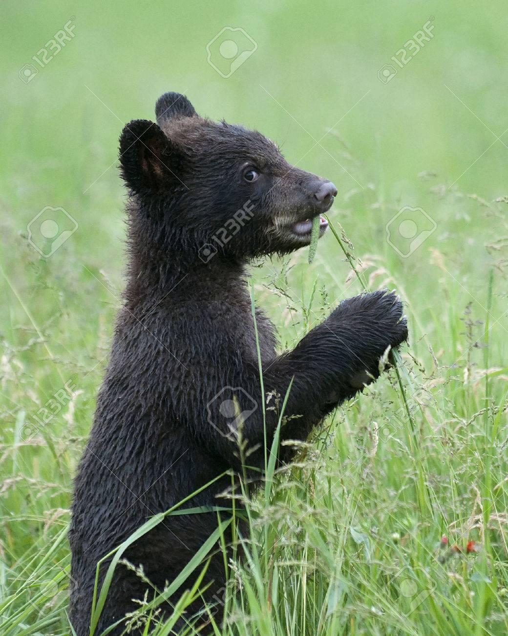 7bda937a46d Black bear cub eats spring grass with a humorous look Stock Photo - 29908392