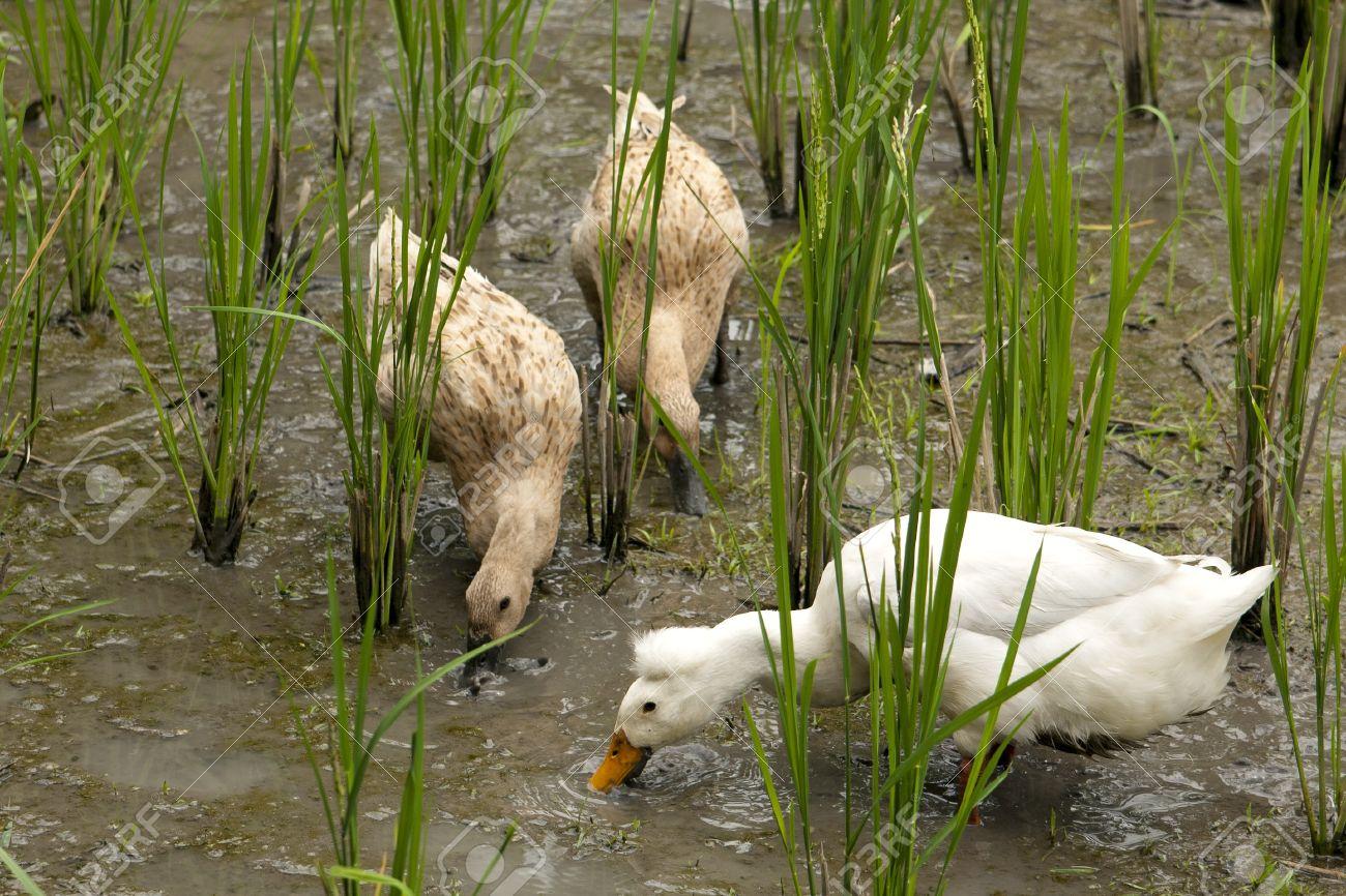 """Résultat de recherche d'images pour """"canards rizière"""""""