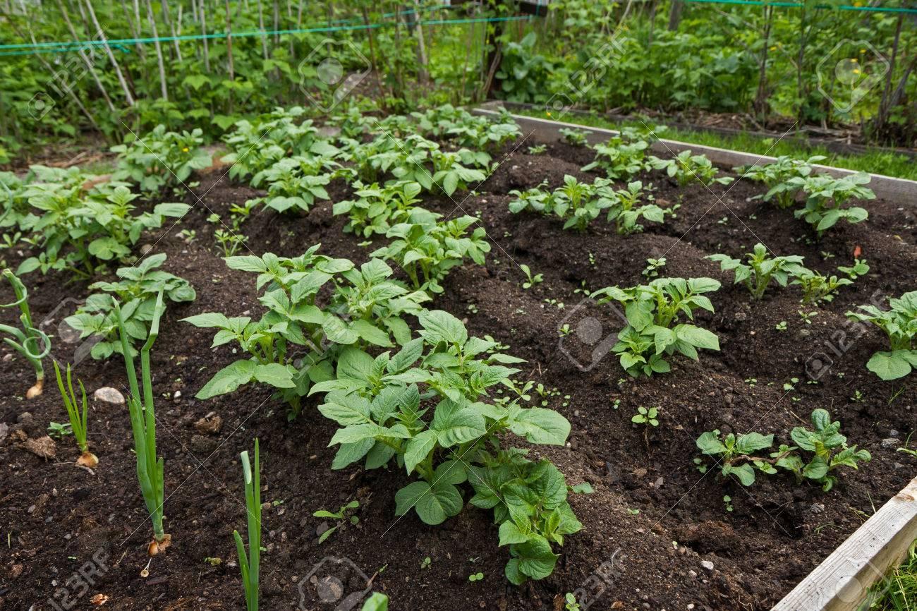 Plantas De Patata Orgnicos Jvenes En Un Pequeo Huerto Fotos